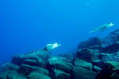 Duckbill rays (Størker) Tags: dykking fisk friluftnatur natur reiser undervannsbilder undervannsnatur tenerife canaryislands spain esp