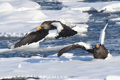 Steller's sea eagles in a battle (2) (takashimuramatsu) Tags: stellers sea eagle haliaeetus pelagicus オオワシのバトル オオワシ rausu hokkaido japan nikon d810 drifting ice battle fighting attacking 流氷 stellersseaeagle