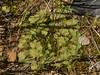 Liverwort (Marchantiophyta) - genus Riccia? (Treebeard) Tags: liverwort riccia blackcrystalwort riccianigrella marchantiophyta moss bryophyta sporophyte sanmarcospass santabarbaracounty california