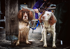 Beggars Belief! (Missy Jussy) Tags: mollie molliemunch rupert rupertbear pets dog animal englishspringer springerspaniel spaniel cafe puppy thryberghcountrypark rotherham yorkshire canon canon5dmarkll canon50mm 50mm outside portrait dogportrait
