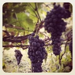 Y se hizo la luz!!!!... comenzamos vendimia 2015... aquí nos dan las uvas hoy!!!!..