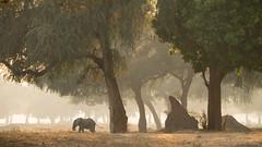 Mana Pools (Sue MacCallum-Stewart) Tags: africa elephant nature wildlife zimbabwe manapools