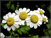 Tanacetum parthenium (Marco Ottaviani on/off) Tags: flowers plants nature canon natura fiori piante asteraceae tanacetum amarella matricale tparthenium marcoottaviani amareggiola