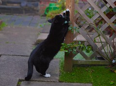 Monty loves a good scratch! (eddcellentcats) Tags: cats cat blackcat garden post kitty scratch scratchingpost kittycat