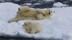 Polar Bear - Ursus maritimus  (Greenland) (74) (Richard Collier - Wildlife and Travel Photography) Tags: wildlife naturalhistory arctic polarbear mammals arcticwildlife ursusmaritimus marinemammals