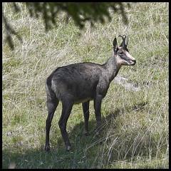 Chamois (wilphid) Tags: montagne animaux parc montblanc sauvage hautesavoie faune leshouches parcdemerlet