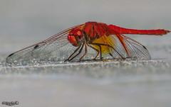 Libélula, Pitijopo u Odonato... (Lola Cortés Neva) Tags: libélula macroengeneral pitijopouodonato