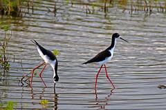 black necked stilts (robertskirk1) Tags: bird nature animal hawaii pond wildlife maui coastal boardwalk hi kealia