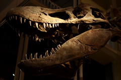 T Rex Skull Cast (nic_r) Tags: museum skeleton skull edinburgh dinosaur exhibit nationalmuseumofscotland rex trex tyrannosaurusrex tyrannosaur cust