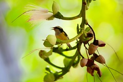 Bananaquit (Simone Scott) Tags: flower bird photography islands singing song cayman caymanislands bananaquit caymanbrac thebrac simonescott