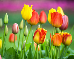 Technicolor Tulips (PopsDigital) Tags: pink flowers red flower color colour macro green floral beauty yellow horizontal garden landscape petals purple tulips blossom sweet pastel blossoms vivid flowerbed ia tulip bloom blooms delicate tulipfestival blooming pella flowergarden billpevlor popsdigital sonyslta77v