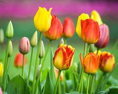 Technicolor Tulips