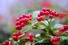 Rain of Autumn (qooh88) Tags: red rain fruit dewdrop evergreen dew shrub creeping cotoneaster rosaceae      cultivar  autumnfire        cotoneastersalicifoliusautumnfire cotoneasterautumnfire