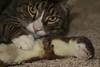 Look What the Cat Dragged In (Maree A Reveley Photography) Tags: 20151022 827tramwayroad cat mareeareveleyphotography mountsomers newzealand nosreveley october pest somersleafarmlimited southisland stoat mareeareveley