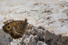 Le Mercure - Arethusana arthusa -  (michel lherm) Tags: papillons lpidoptres rhopalocres lemercure arethusanaarthusa