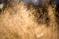 De l'Or (mopoz14) Tags: autumn sunset summer plant color nature field season gold countryside amazing perfect natural bokeh or joy harvest nobody row zen moment fragrance landscaped