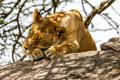 201503041153_TZ_Mara_Serengeti National Park.jpg (matthewbelk) Tags: africa tanzania events lion safari mara serengeti tz kopje 2015
