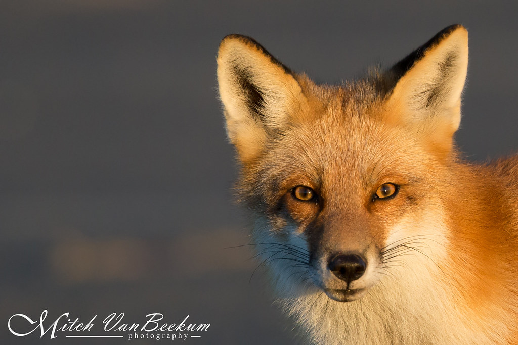 Red Fox (in early morning light)