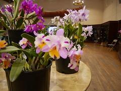 P1100052 (cieneguitan) Tags: flora lan bunga orkid flowershow okid angrek anggerek