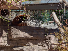 Oly103527.jpg (SGIsble (Buried in Photos)) Tags: colorado places denver redpanda denverzoo zoos