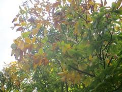 Autumn Buckeye (Seasonal Spectacular) Tags: autumn horsechestnut buckeye aesculus