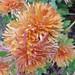 Au jardin, chrysanthèmes Tokyo, Bosdarros, Béarn, Pyrénées Atlantiques, Aquitaine, France.