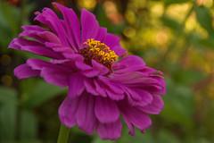 Looking for Sunshine (SunnyDazzled) Tags: sunlight newyork flower macro nature garden purple bokeh arboretum bloom zinnia orangecounty