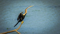 """Oriental Darter"" (Sudeep Nandi) Tags: water wings feathers tamron waterbirds sunning snakebird nikoncafe birdsofindia fisheater birdsbirdsbirds orientaldarter kaziranganp"