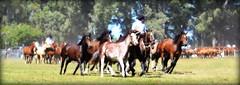 Los Zainos de Arriola (Eduardo Amorim) Tags: horses horse southamerica argentina criollo caballo cheval caballos cavalos pferde herd cavalli cavallo cavalo gauchos pferd ayacucho chevaux gaucho cavall  amricadosul gacho amriquedusud provinciadebuenosaires  gachos  sudamrica suramrica amricadelsur sdamerika crioulo caballoscriollos criollos  tropillas buenosairesprovince americadelsud tropilhas tropilla crioulos cavalocrioulo americameridionale tropilha caballocriollo eduardoamorim cavaloscrioulos
