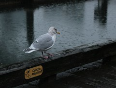 Slippery when wet (annapolis_rose) Tags: vancouver rainyday seagull rainy