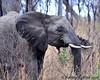 South Africa--Kruger Two 014 (REBlue) Tags: southafrica mpumalangaprovince krugernationalpark africanelephant bigfive