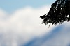 Pine Siskin (Spinus pinus) (Simon Valdez-Juarez) Tags: pinesiskin spinuspinus burnaby bc canada