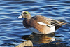 Male American Wigeon (Brian E Kushner) Tags: lesserscaup lesser scaup aythyaaffinis choptank river choptankriver cambridge md maryland oakley st nikon d810 nikond810 birds bkushner wildlife animals duck birdwatcher ©brianekushner nikon300mmf40dedifafsnikkorlens 300mm f4 nikor tc14eii tc14 male