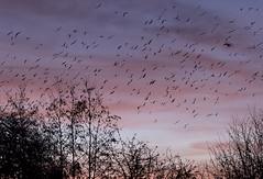 slimbridge roost (tsd17) Tags: silhouette slimbridgewwt roost sunset birds canon7dmk11