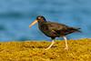 Sooty Oystercatcher (M Hooper) Tags: longreef sootyoystercatcher bird sydney