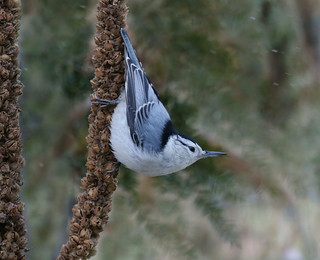 Nuthatch on Mullen....