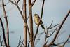 White-crowned Sparrow (randyherring) Tags: nwr california whitecrownedsparrow winter wetlands elkgrove wildlife nature educational stonelakesnationalwildliferefuge grassland outdoor ca afternoon centralcaliforniavalley recreational unitedstates us