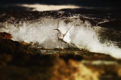 """""""Splash! (II)"""" (Ilargia64) Tags: splash crane whitecrane waves sea seashore ocean water bird nature moment amayasanchez"""