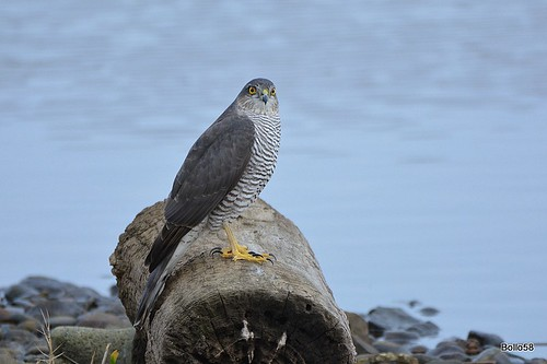 Sparrowhawk - La Clare Mare Nature Reserve, Guernsey 26-12-2016 15-25-020