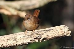 Troglodyte mignon - Troglodytes troglodytes (aiglonne) Tags: troglodyte mignon troglodytes grangettes lac léman vaud aquatique wild birds oiseaux aves