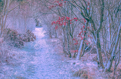 Season of Silver (David and Lisa Mowbray) Tags: winter weather ice frost trees leaves leaf nature outdoors countryside woodland forest walkway path track trail tranquility scotland scenery scenic peaceful red white snow cold canon rural