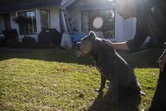 IMG_8349 (Elise Granados) Tags: loki canecorso fetch dog