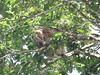 IMG_9039 (dstylebda) Tags: colonpanama gatunlake tamarins howlermonkeys sloth