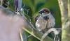House Sparrow     Haussperling (Natural Photography by CJH) Tags: house sparrow housesparrow sperling haus haussperling tree perch sit watch bird vogel natural wildlife nature wild nikon d500 telephoto 300mm pf f4 300mmf4 300f4 nikkor pfedvr tc14eiii