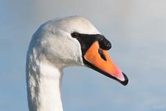 Mute swan (Shane Jones) Tags: muteswan swan bird elegant wildlife nature nikon d500 200400vr tc14eii