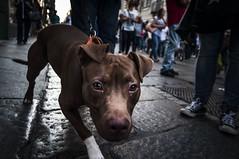 hello stranger (la_peppy) Tags: dog street streetphotography nikon d90 pitbull portrait animals city capture carpediem sight intense