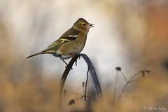 chaffinch female... (Silvio Sola) Tags: fringuello femmina uccello bird chaffinch silviosola