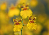 Orchids (mclcbooks) Tags: flower flowers floral macro closeup orchid orchids yellow denverbotanicgardens colorado zerenestacker focusstacking