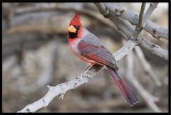 Cardinal x Pyrrhuloxia Hybrid (Lee_Marcus) Tags: pyrrhuloxia cardinalissinuatus desertcardinal bird desert desertbird cardhuloxia hybrid cardinal northerncardinal cardinalxpyrrhuloxia cardinaliscardinalis