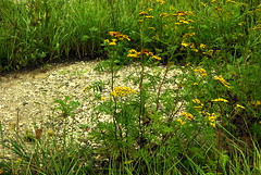 Kamienista łacha 24 (Hejma (+/- 5200 faves and 1,6 milion views)) Tags: wildflowers grass weeds yellow green blue gravel
